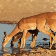 Impala antelopes at waterhole — Stock Photo