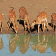 Nyala antelopes drinking — Stock Photo #44410617