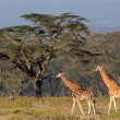 Rothschilds giraffes — Stock Photo #44410705
