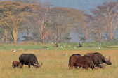 African buffaloes with egrets — Stock Photo