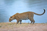 Alert leopard — Stock Photo