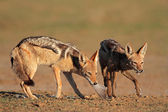 Black-backed Jackals eating dove — Stock Photo