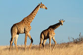 Giraffes in open grassland — Stock Photo