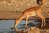 Impala antelope at waterhole — 图库照片