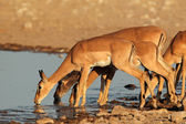 Impala antelopes at waterhole — Stok fotoğraf