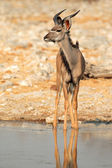 Kudu antelope — Photo