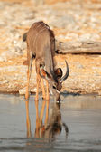 Kudu antelope drinking — Photo