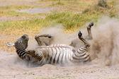 Plains Zebra in dust — Stock Photo