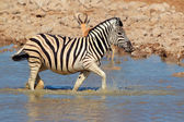 Plains Zebra in water — Stockfoto