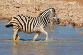 Plains Zebra in water — Stock Photo