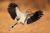 Yellow-billed hornbill landing — Stock Photo