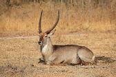 Waterbuck bull — Stock Photo
