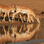 Impala antelopes drinking — Stock Photo #44521659