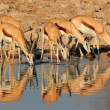Springbok antelopes at waterhole — Stock Photo
