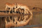 Antilopami impala pití — Stock fotografie