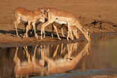 Impala antelopes drinking — Stockfoto