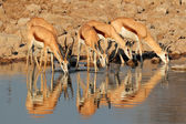 Springbok antelopes at waterhole — Stok fotoğraf