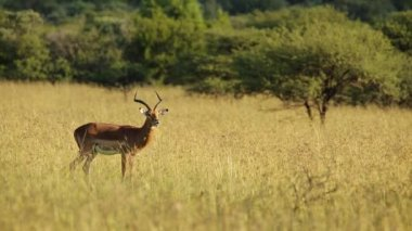 Male impala antelope — Stockvideo