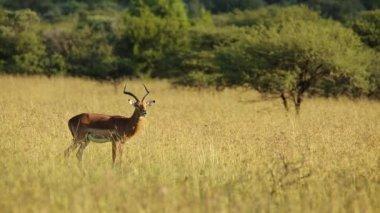Mężczyzna impala antylopy — Wideo stockowe
