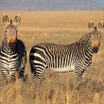 Cape Mountain Zebras — Stock Photo #44964799