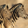 Plains Zebras portrait — Stock Photo #44964815