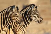 Plains Zebras portrait — Stock Photo