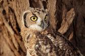 斑点的鹰猫头鹰 — 图库照片