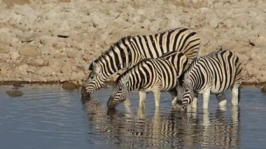 Plains Zebras drinking — Vídeo Stock