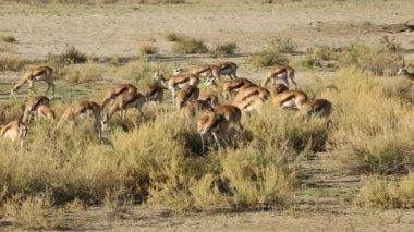 Springbock antiloper utfodring — Stockvideo