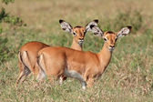 Impala antelope lambs — Stock Photo