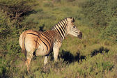 Plains Zebra — Stock Photo