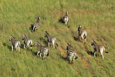 Plains Zebras — Stock Photo