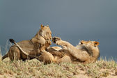 Playful African lions — Stock Photo