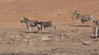 Plains zebras walking — Stock Video