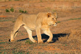 African lion stalking — Stock Photo