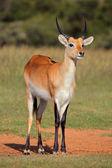 Red lechwe antelope — Stock Photo