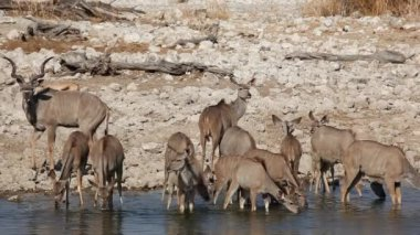Kudu antelopes at waterhole — Stock Video