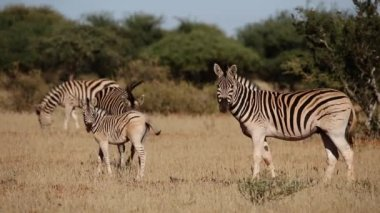 Plains Zebras and foal — Stock Video