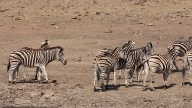Plains zebras interacting — Stock Video