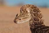 Defensive puff adder — Stock Photo