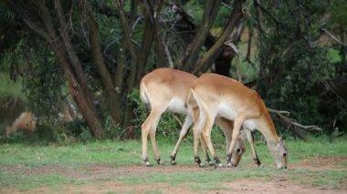 Grazing red lechwe antelopes — Stock Video
