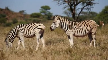 Plains Zebras grazing — Stock Video