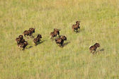 Black wildebeest running — Stock Photo
