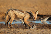 Black-backed Jackal eating dove — Stock Photo