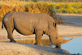 White rhinoceros drinking — Stock Photo