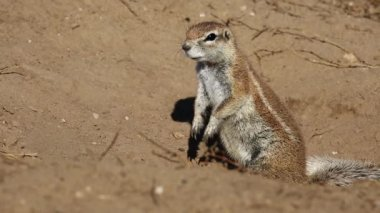 Alert African ground squirrel (Xerus inaurus) — Wideo stockowe