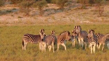 Alert Plains (Burchells) Zebras (Equus burchelli) in natural habitat — Stock Video