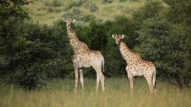 Giraffe family (Giraffa camelopardalis) in natural habitat — Stock Video