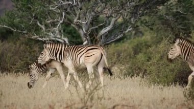 Plains (Burchells) Zebras (Equus burchelli) walking in the African bush — Stock Video