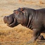 Charging hippopotamus — Stock Photo #48022899